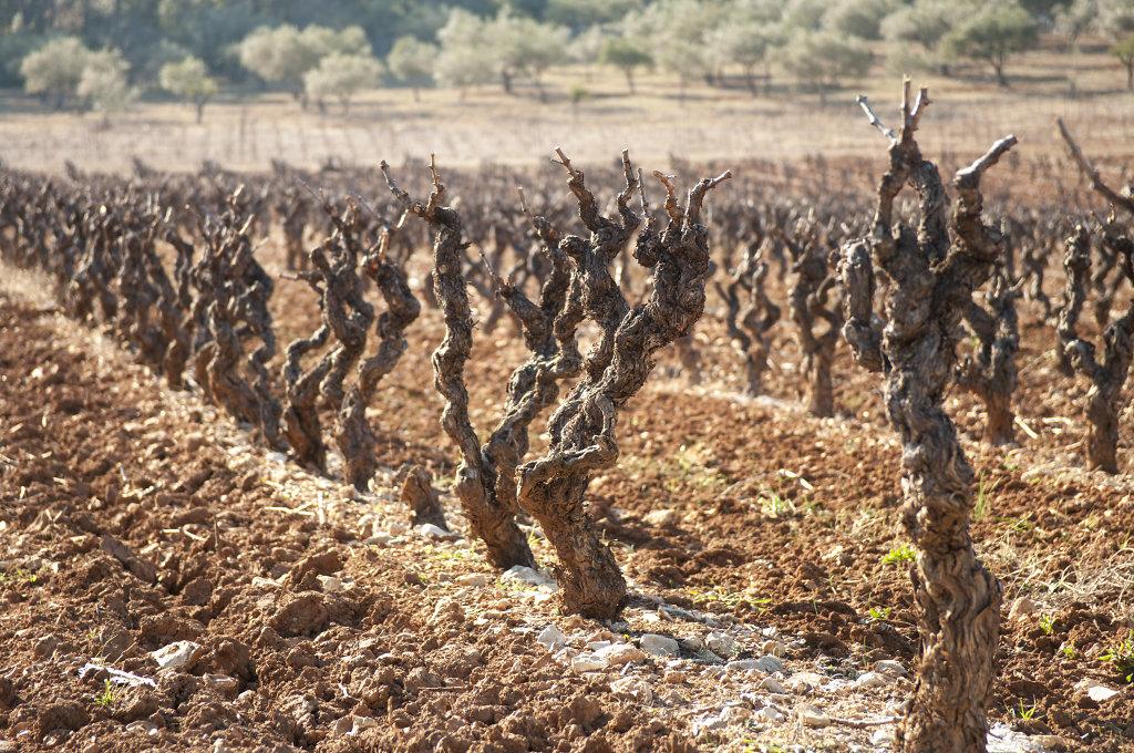 Weinreben in Les Arcs, Frankreich 2012